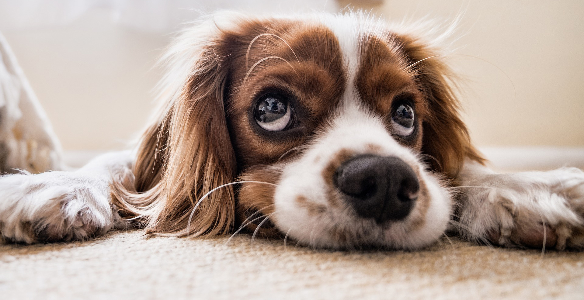 Carpet Clean If You Have Pets